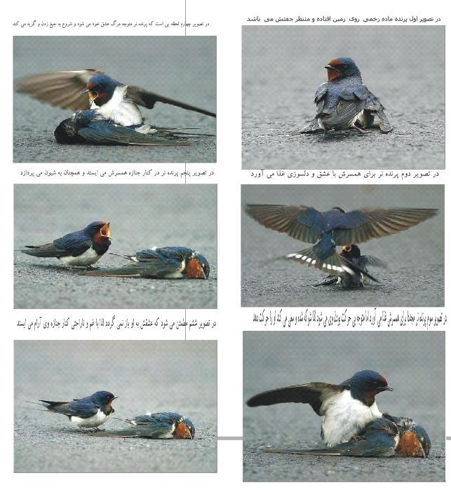 گفته شده که عکس این دو پرنده در کشور ...