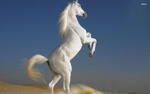 Top-Quality-White-Horse-Wallpaper